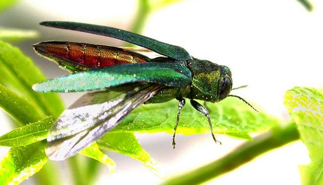 Invasive Insect Certification Program