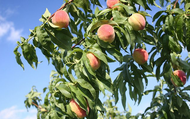 Fungus killing peach trees