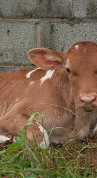 WGBA sponsors essay calf contest