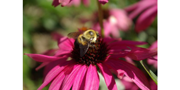 Native bee on coneflower. (Photo by Rebecca Finneran, MSU Extension)