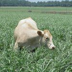 Grazing_forage_pearl_millet