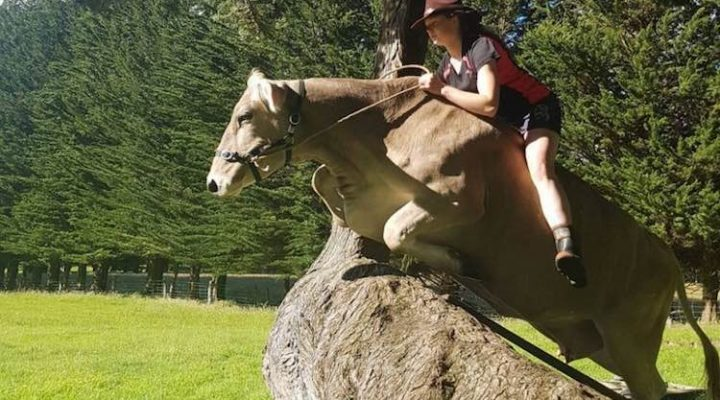 Girl denied a horse trained her cow instead