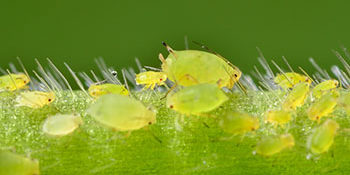Insecticide resistance in aphid treatment