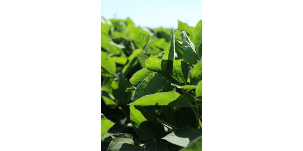 Thunder Seed has extended its line of Roundup Ready 2 Xtend® products with the addition of XtendiMaxTM herbicide with VaporGripTM Technology. With XtendiMaxTM, growers will see greater weed control. (Thunder Seed)