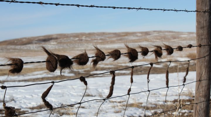 Cattle with hair loss, an unthrifty appearance, and leaving hair on fences and other objects from rubbing may be a sign of lice infestation. (Photo courtesy of Troy Walz)