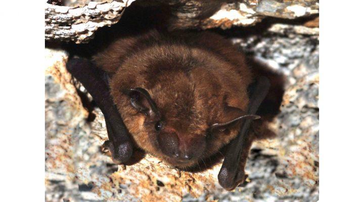 Some bats develop resistance to disease