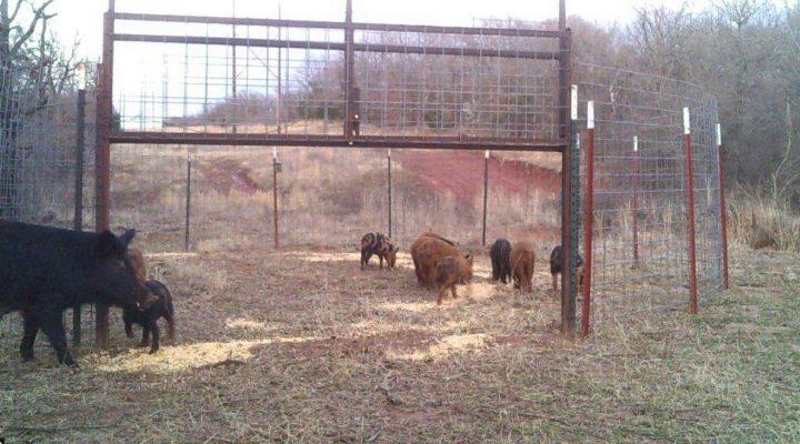 Feral swine goal surpassed