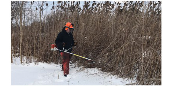 Oakland County Parks manages previously treated invasive phragmites with a winter cutting. (Photo by: Erin Lavender, Oakland County Parks)