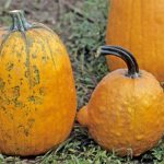 These pumpkins' discoloration and bumps are likely the result of infection by one of numerous viruses. (Photo: Gerald Holmes, California Polytechnic State University at San Luis Obispo, Bugwood.org)