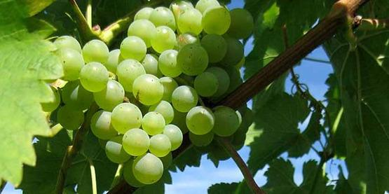 Want to grow table grapes for profit?