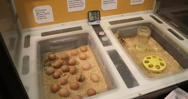 4-H Embryology Project Kits available