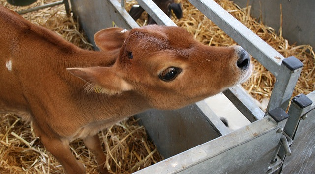 TB-resistant cows developed