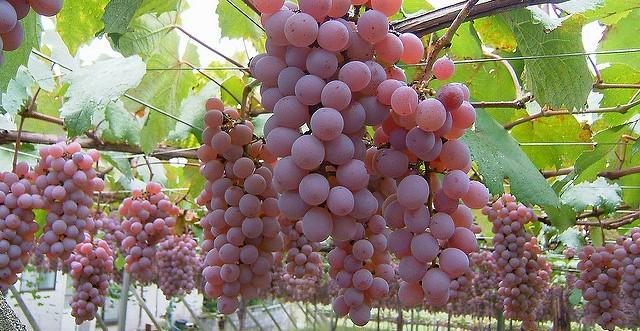 Grapes help prevent Alzheimer's disease