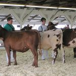 Youth judging cows. (Dan via Flickr)