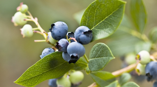 Growing Berries for Profit