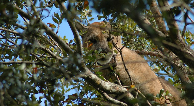 Help panther research, report sightings