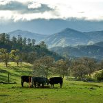 Cattle on a California ranch. (Loren Kerns via Flickr)