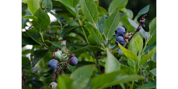 Grow, manage and market blueberries