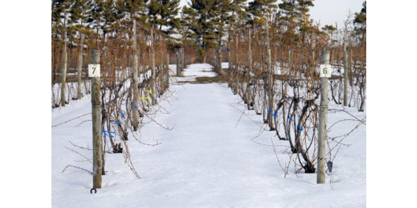 Input from wine grape growers through this survey will help researchers determine interest in a method to protect popular grape varieties from extreme cold. (Photo: Duke Elsner, MSU Extension)