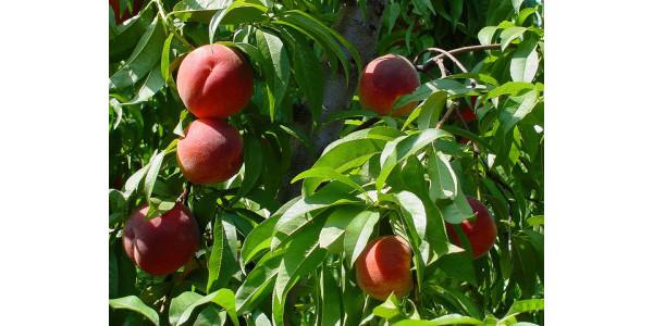 Spring peach meeting March 2