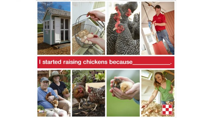 5 reasons to raise backyard chickens