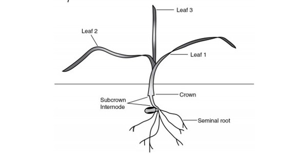 "Winter wheat at the three leaf stage. Note the crown development. Source: University of Saskatchewan, 2002, from ""Winter Wheat Production Manual."" (MSU Extension)"