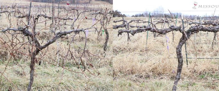 Grape vine before pruning, left, and after pruning, right. (Courtesy of Missouri Wines)
