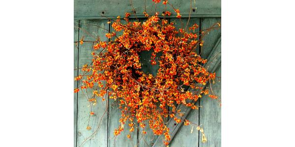 A decorative wreath made with invasive Oriental bittersweet vines. (Photo courtesy of beckyredbarn.com)