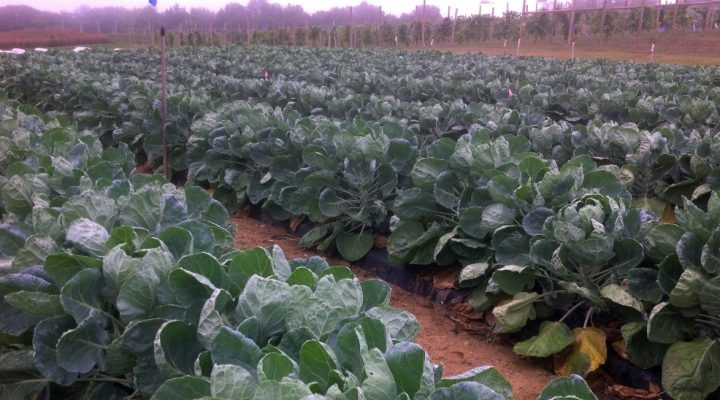 Organic pesticides tackle cabbage aphids