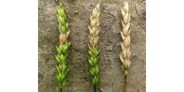 Wheat varieties vary significantly in their genetic susceptibility to fusarium head scab. (Photo: Martin Nagelkirk, MSU Extension)