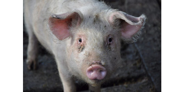 Products for boosting swine health