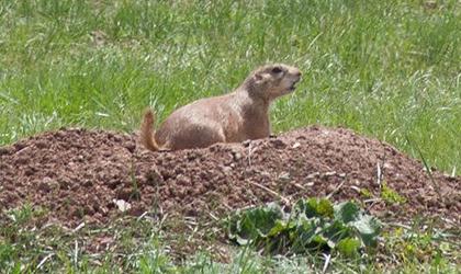 Figure 1. Black-tailed Prairie Dog. (SDSU Extension)