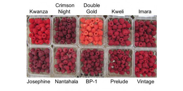 Fall-fruiting raspberry varieties for 2017