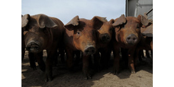Changes in the way gilts and sows are fed