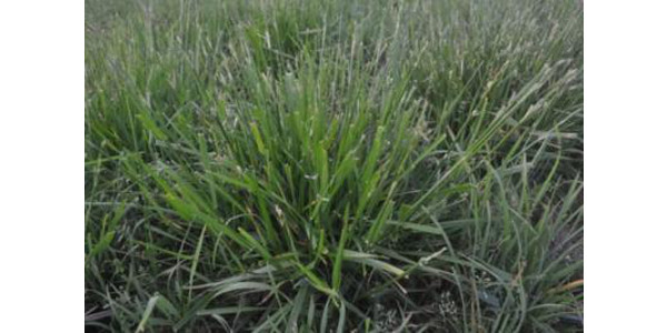 Tall fescue. (PHOTO: Krista Lea, University of Kentucky)