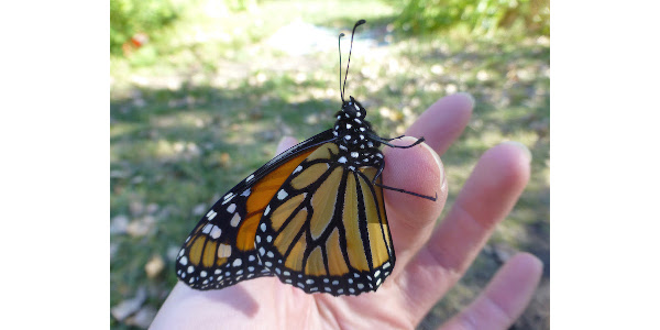 More than 30 Iowa partners will work together on a strategy to help monarch butterfly populations recover. (Courtesy of Iowa State University)