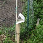 Swede midge trap near garden plot. (Courtesy of the Minnesota Department of Agriculture)