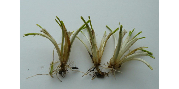 Wheat with new growth after following the 'bag test' procedures. (Courtesy of iGrow.org)