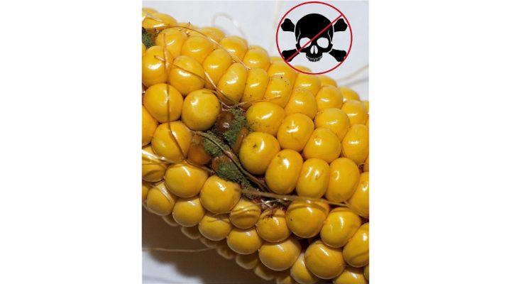 Preventing aflatoxin contamination