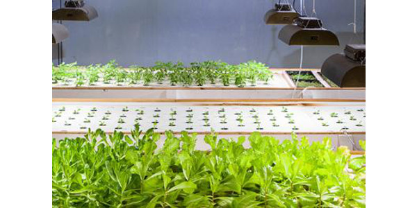 In an aquaponics system, fish provide nutrients for hydroponically grown plants, which in turn, purify the water. (PHOTO: Steve Patton, UK Agricultural Communications)