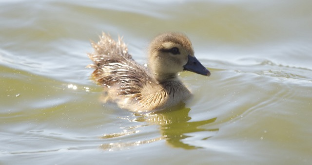 Tiny ramps make way for ducklings