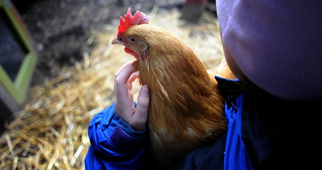 Protect your poultry from avian flu