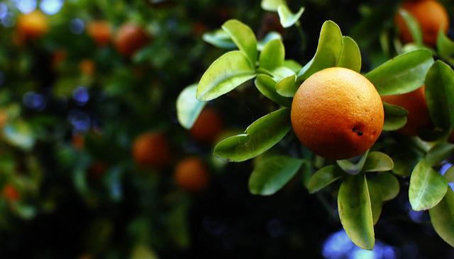 Forecast for Fla. citrus crop drops again