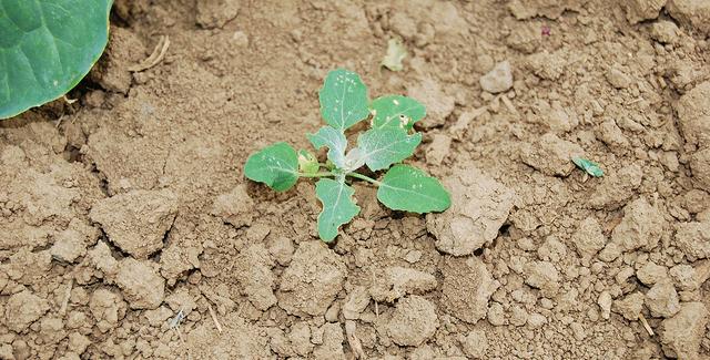 Managing weeds in fruits & vegetables