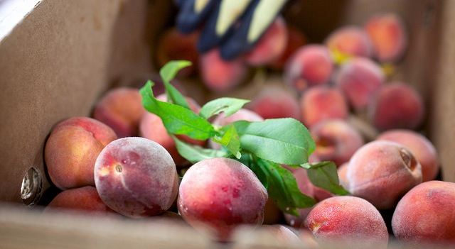 Freeze hits blueberries, peaches hard