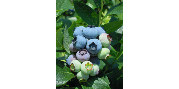 Blueberry fruit cluster just before the first harvest of berries. (Photo: Mark Longstroth, MSU Extension)