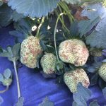 Some strawberries in Robeson and Bladen Cos. got hit hard by hail on Saturday. (Georgia Love, NCDA Agronomist)