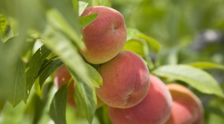 Florida peaches pack a punch