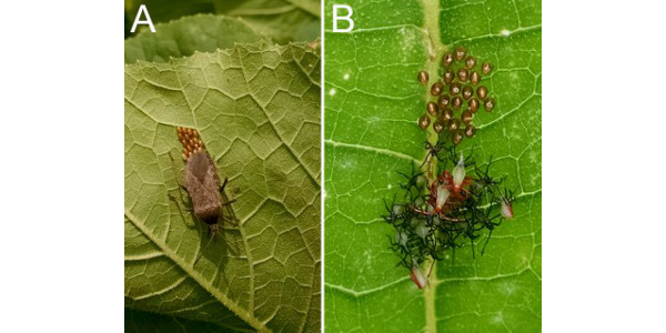 Figure 1. (A) Squash bug adult laying eggs, and (B) newly hatched eggs and early nymphs. (Photo credit: A.L. Buchanan)