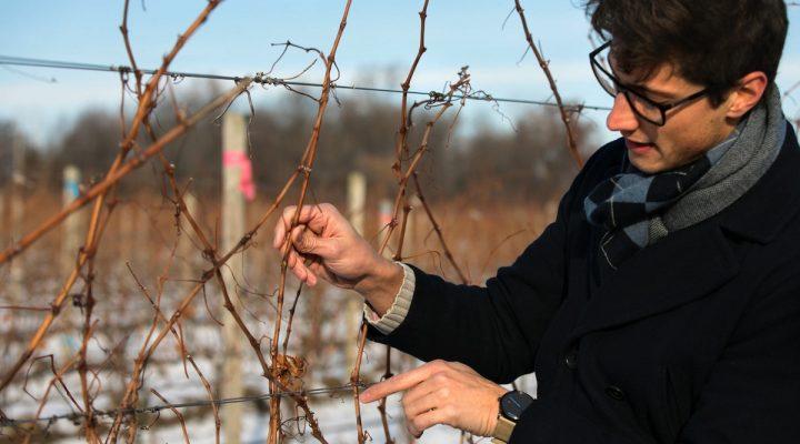 Genetic clues help grapes survive winter